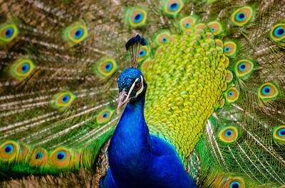 Close Up Photography of Peacock Photo
