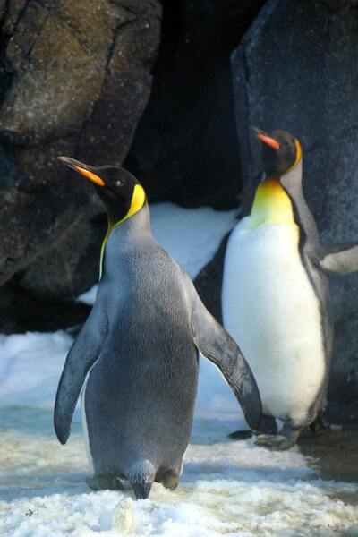 Closeup Photo of Two Penguins