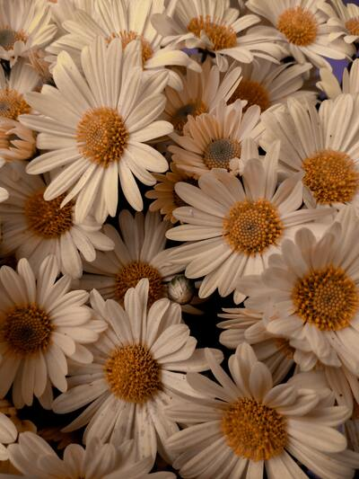 Common Daisy Flower Photo