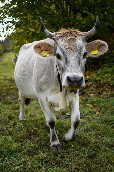 Cow Animal Walking on Grass
