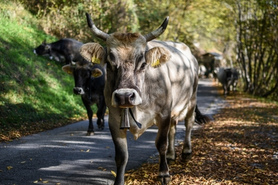 Cow Walking on Road