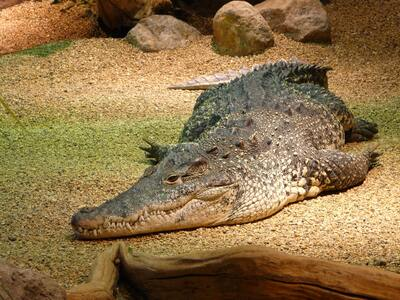 Crocodile Lying On Ground