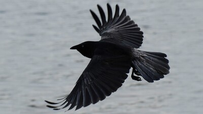 Crow Flying HD Photography