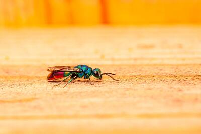 Cuckoo Wasps Insect on Wood Ultra HD Image