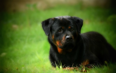 Cute Black Dog Puppy