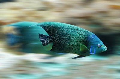 Cute Blue Fish With Blur Background