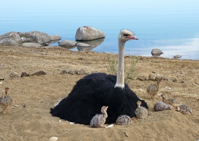 Cute Childs with Ostrich Sitting in Sand