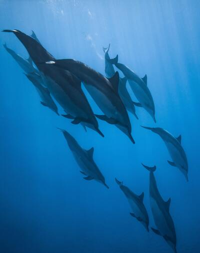 Dolphins Group in The Sea