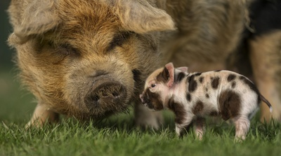 Domestic Pig Cub Wallpaper