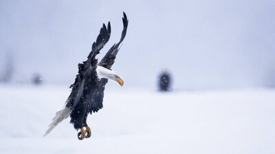 Eagle Bird Flying in Snow
