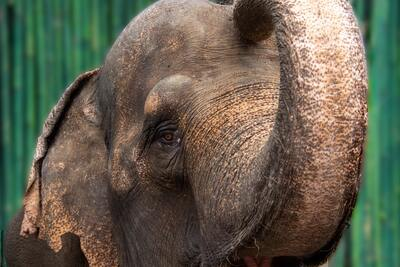 Elephant Close Face Image