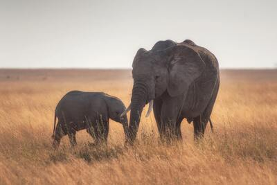 Elephant with Baby in Dry Grass