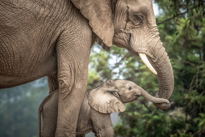 Elephant With Cub Wallpaper