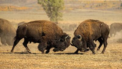Fighting of Bisons Photo