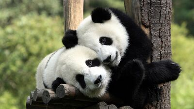 Giant Panda Love Together Image