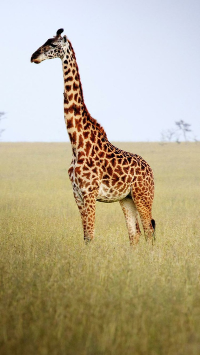 Giraffe Animal Mobile HD Wallpaper