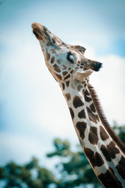 Giraffe Close Up Animal Mobile Wallpaper