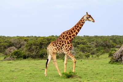 Giraffe in Green Field
