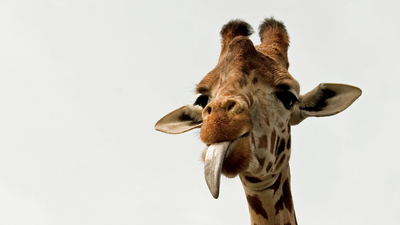 Giraffe Tongue Closeup 5K Wallpaper