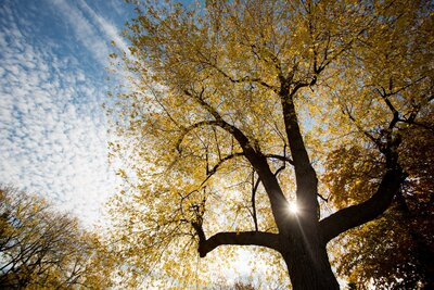 Gold Light Through Tree