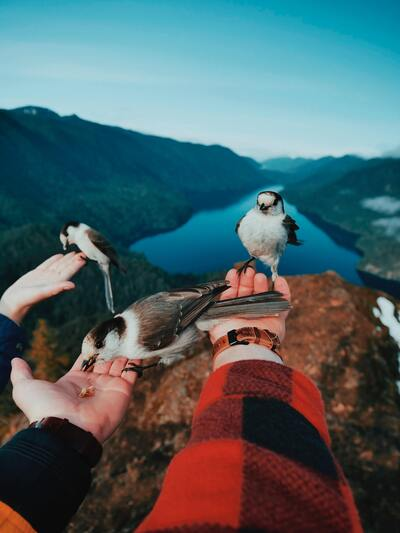 Gray Jay Bird Sitting on Hand