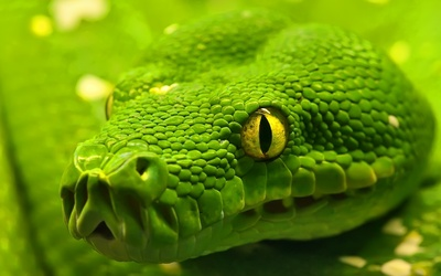 Green Anaconda Snake Wallpaper