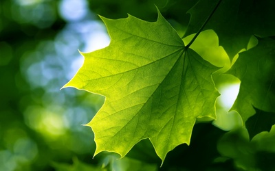 Green Leaf Wide Wallpaper