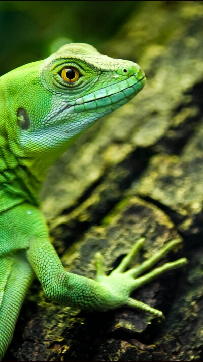 Green Lizard Closeup Yellow Eyes