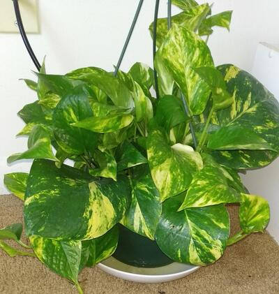 Green Money Plant at Home