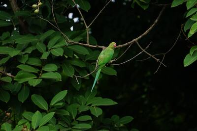 Green Paroot Sitting on Tree Branch