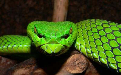 Green Snake Closeup Face