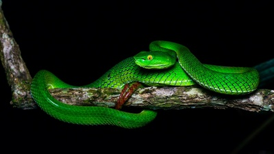 Green Snake on Tree Branch Wallpaper