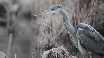 Grey Heron Bird HD Photo