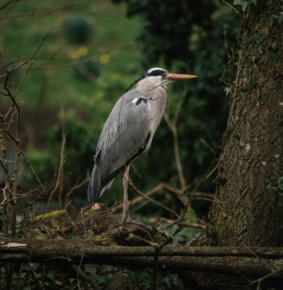 Grey Heron Bird Standing on Tree