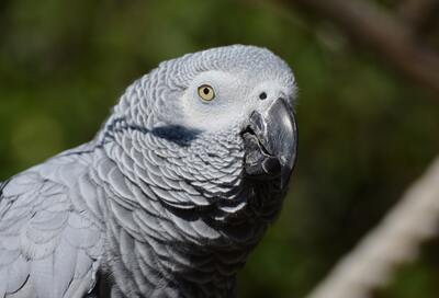 Grey Parrot Bird 5K Photography