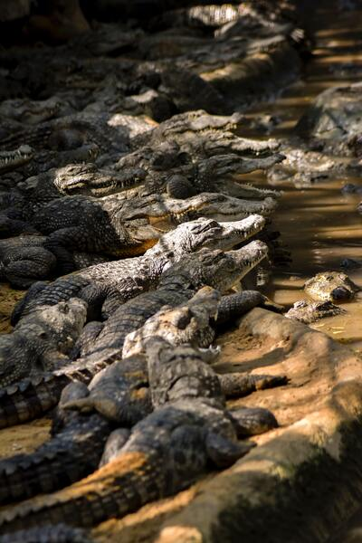 Group Of Crocodiles Near Water Body
