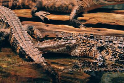 Group Of Crocodiles Pic
