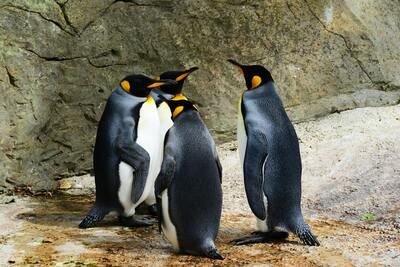 Group of Penguins Ultra HD Image