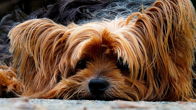 Hairy Dog Sleeping 4K Photo