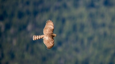 Hawk Bird Flying HD Photography