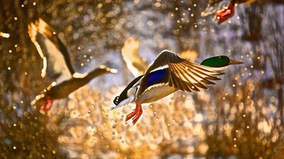 HD Photography of Duck Flying Near River