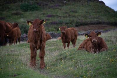 Herd Cows on Green Grass