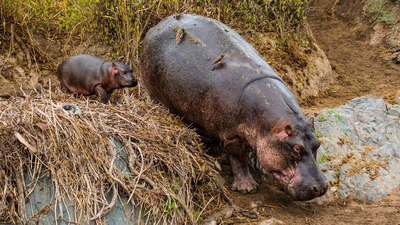 Hippopotamus with Baby 4K Animal Photo