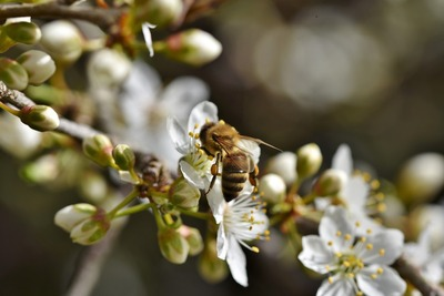 Honey Bee Insect Pic