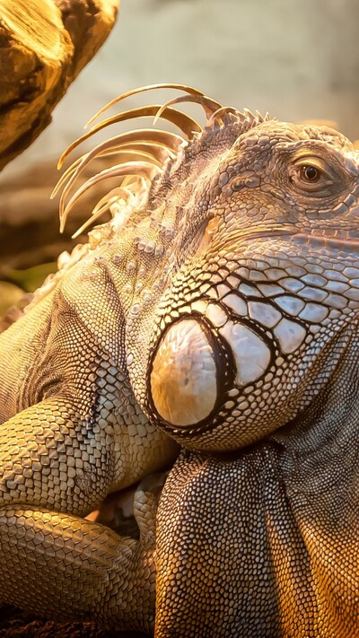 Iguana Closeup Face Mobile Pic