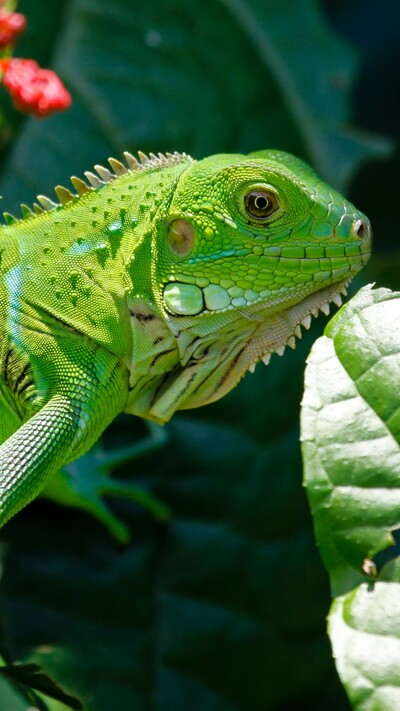 Iguana Green Reptile on Dragon Leaves