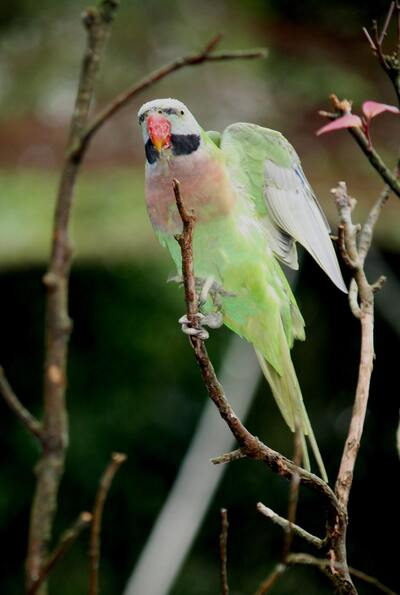 Indian Green Parrot Mobile Picture