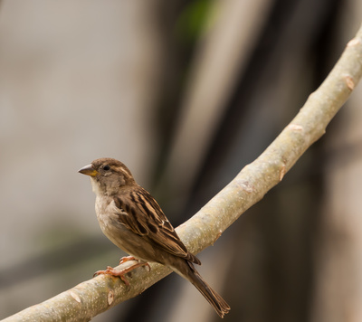 Indian Sparrow Image