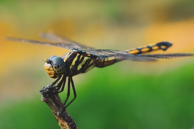 Insect Dragonfly Photo