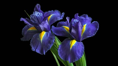 Irises Purple Flower 5K